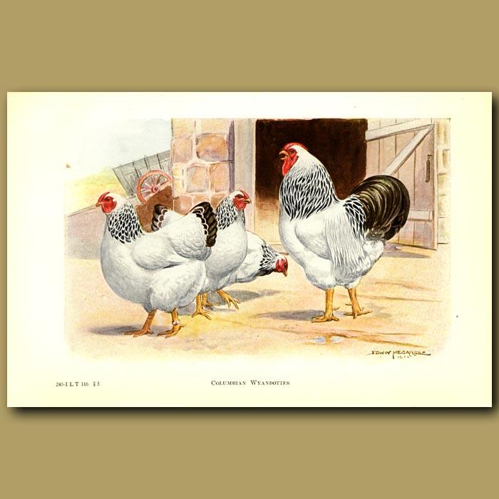 Antique print. Columbian Wyandotte Chickens