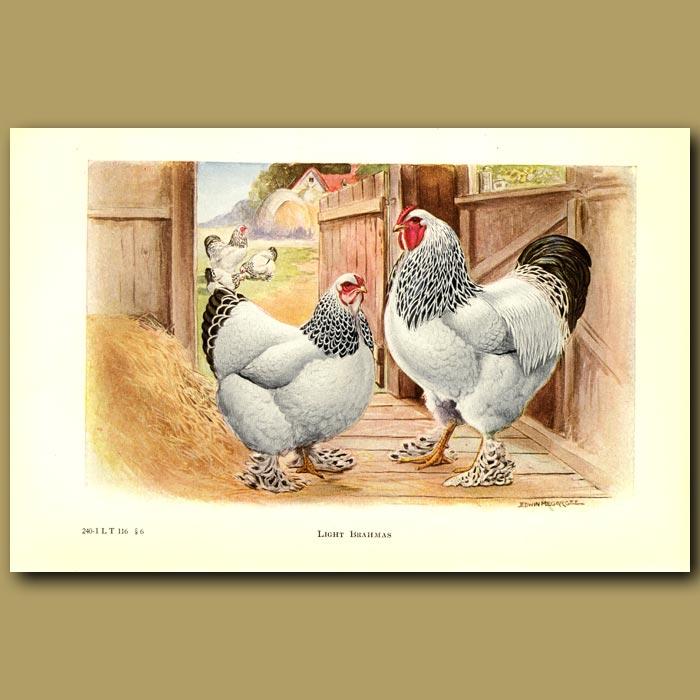 Antique print. Light Brahma Chickens