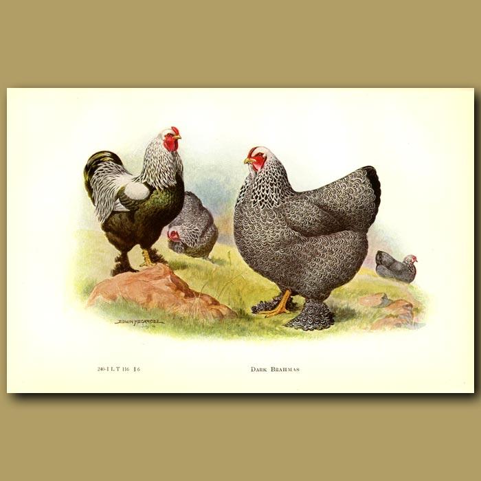 Antique print. Dark Brahma Chickens