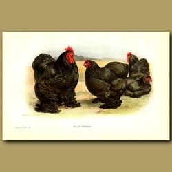 Black Cochin Chickens