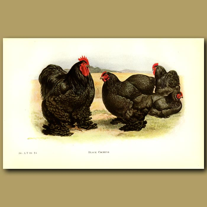 Antique print. Black Cochin Chickens