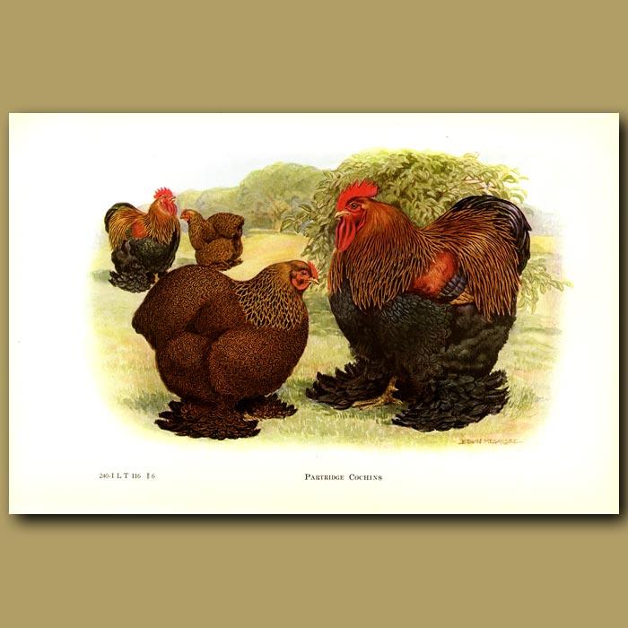 Antique print. Partridge Cochin Chickens