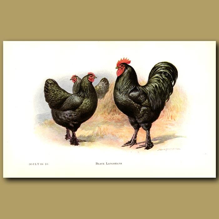 Antique print. Black Langshan Chickens
