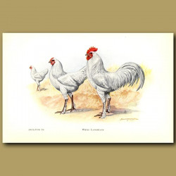 White Langshan Chickens
