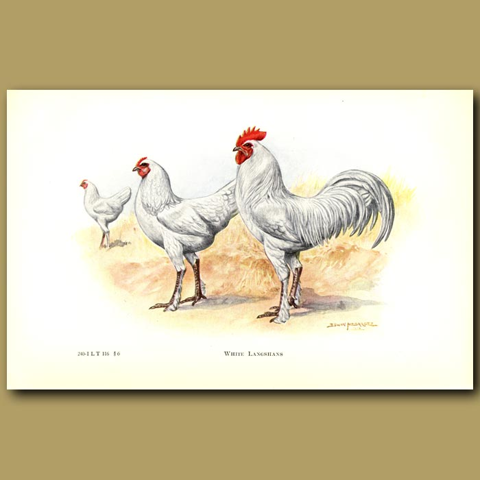 Antique print. White Langshan Chickens