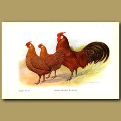 Golden Pencilled Hamburg Chickens
