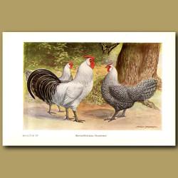 Silver Pencilled Hamburg Chickens