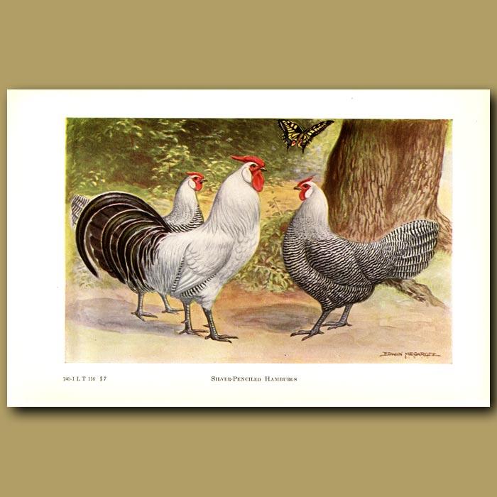 Antique print. Silver Pencilled Hamburg Chickens