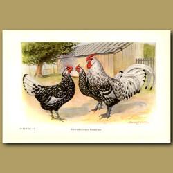 Silver Spangled Hamburg Chickens
