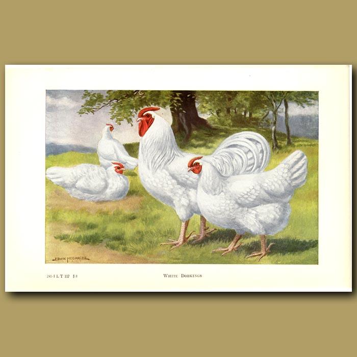 Antique print. White Dorking Chickens
