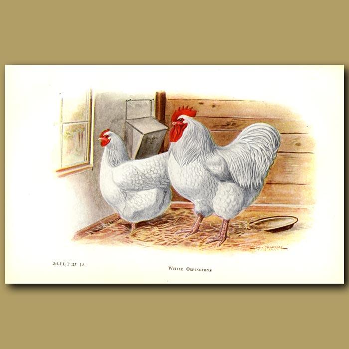Antique print. White Orpington Chickens