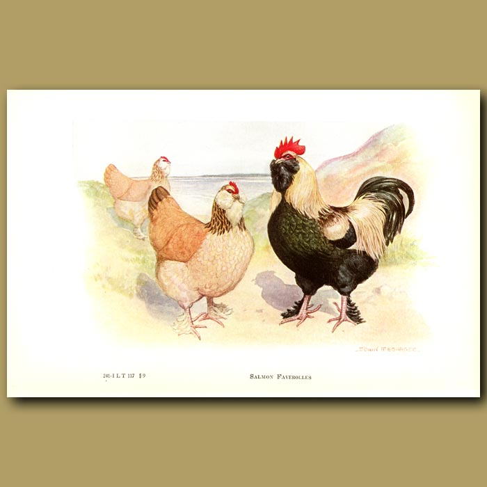 Antique print. Salmon Faverolle Chickens