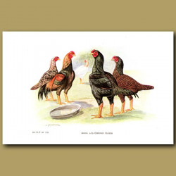 Aseel And Cornish Game Chickens