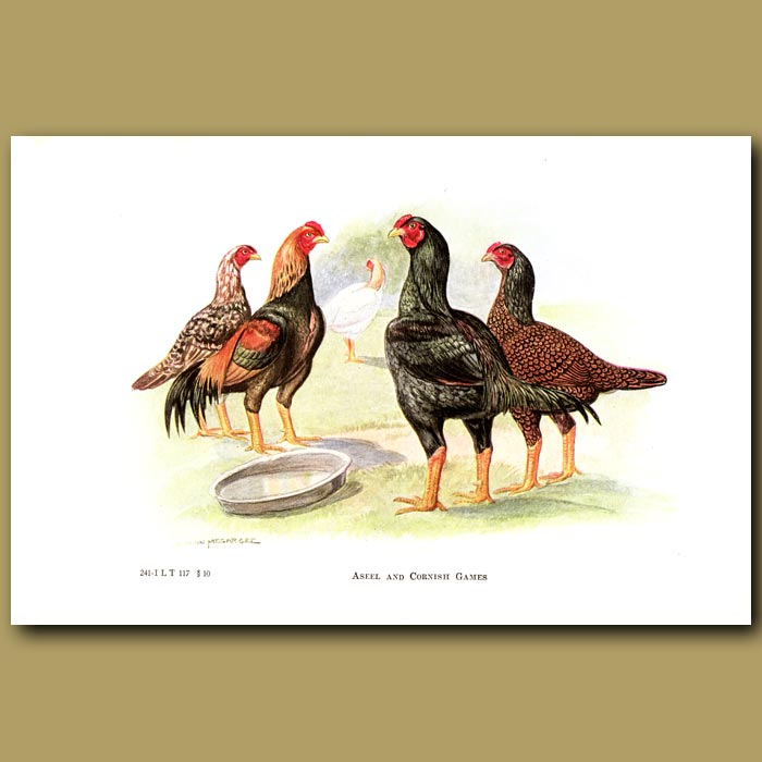 Antique print. Aseel and Cornish Game Chickens