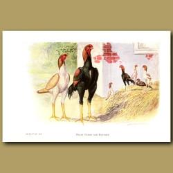 Malay Games And Bantam Chickens