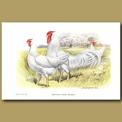 Rose-Comb White Minorca Chickens