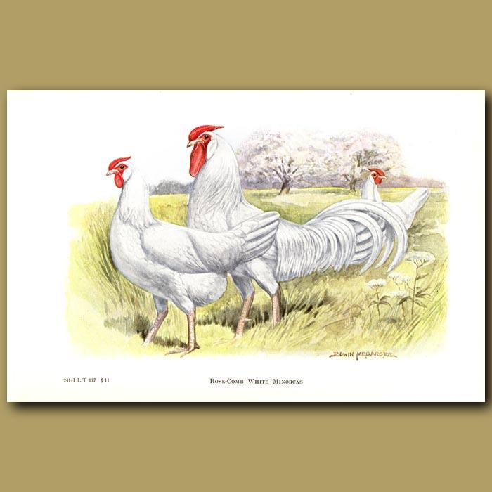 Antique print. Rose-comb White Minorca Chickens