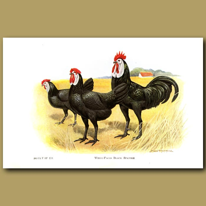 Antique print. White-faced Black Spanish Chickens