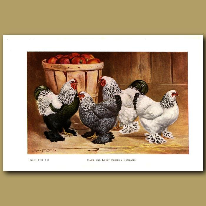 Antique print. Dark and Light Brahma Bantam  Chickens
