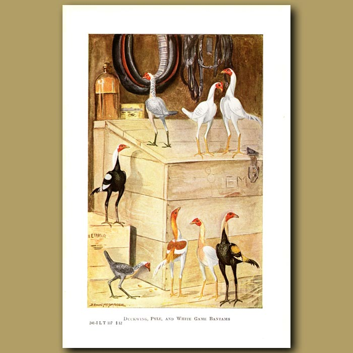 Antique print. Duckwing, Pyle and White Game Bantam Chickens