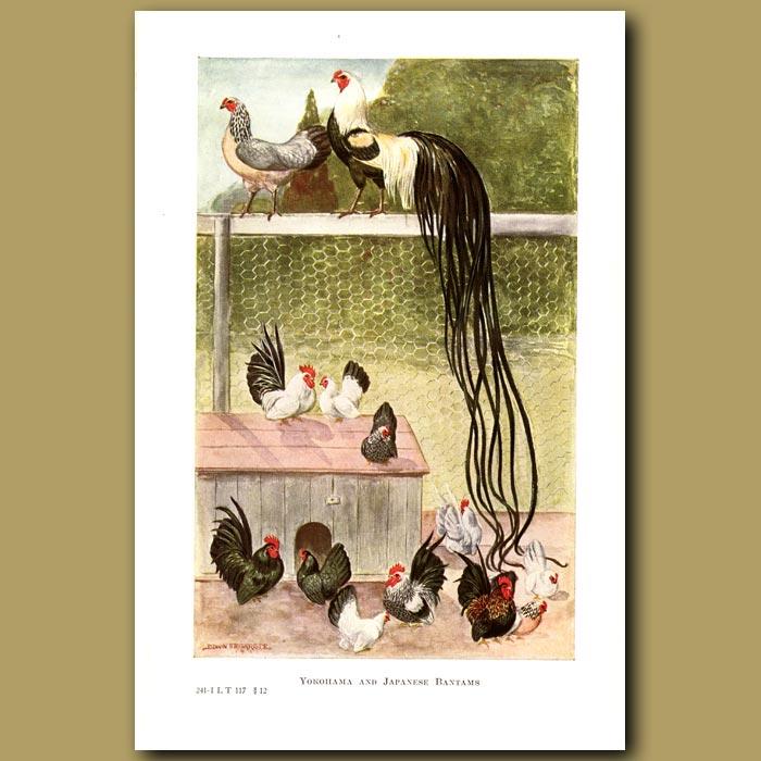 Antique print. Yokohama and Japanese Bantam Chickens