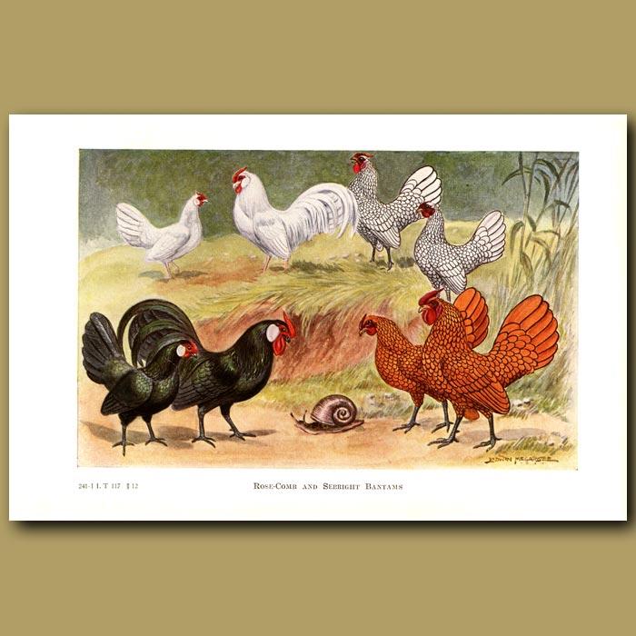 Antique print. Rose-comb and Sebright Bantam Chickens