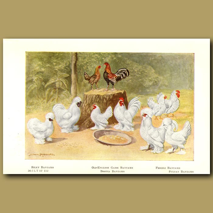 Antique print. Silky, Old-English Game, Booted, Frizzle and Sultan Bantam Chickens