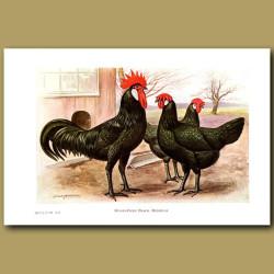 Single-Comb Black Minorca Chickens