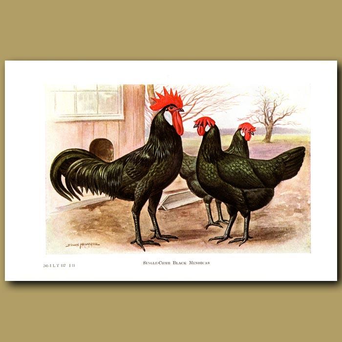 Antique print. Single-comb Black Minorca Chickens
