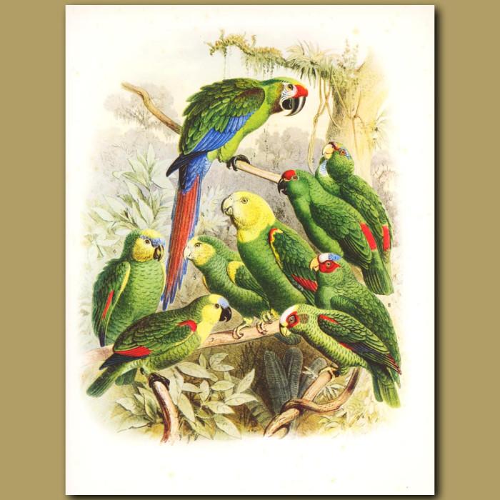 Military Macaw, Amazon parrots