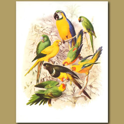Blue and Yellow Macaw, Conures