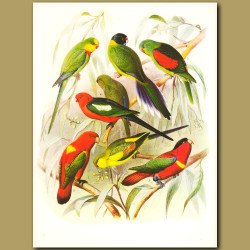 Parakeets: Barraband's, Yellow-collared, Red-winged