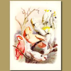 Crested Cockatoos: Lesser Sulphur, Citron, White, Rose