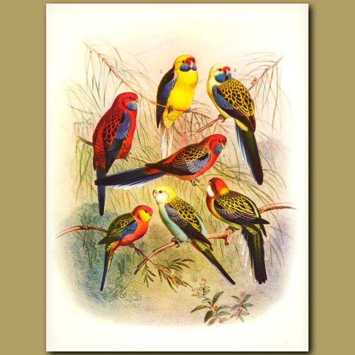 Pennant's Parrakeet, Yellow-bellied Parrakeet