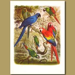 Macaws: Glaucous, Hyacinthine, Sever