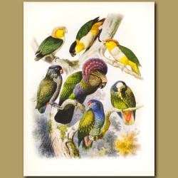 Parrots and Caiques