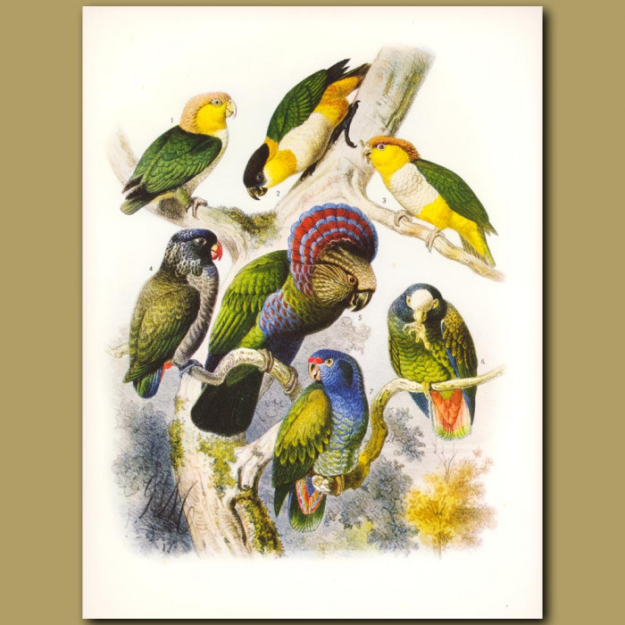 Antique print. Parrots And Caiques