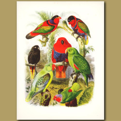 Lorys: Blue-naped, Black-capped, Black, Pucheran's Red-cheeked Parakeet