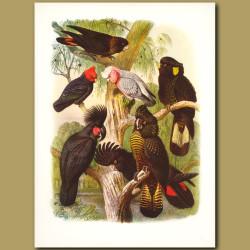 Cockatoos: Glossy Black, Gang-gang, Rose, Yellow-eared