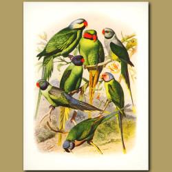 Parakeets:  Malabar, Rosy