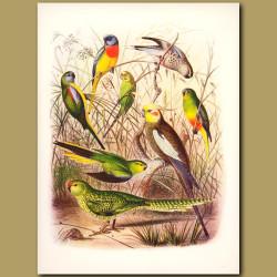 Grass Parrakeets: Splendid, Turquosine, Warbling, Orange-bellied