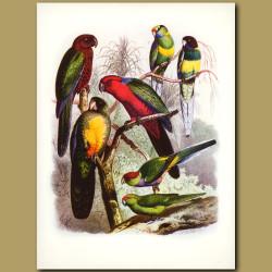 Parrots: New Zealand, Shining, Bauers