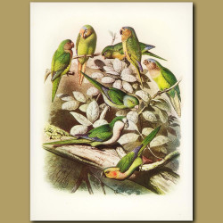Conures: Cactus, All Green