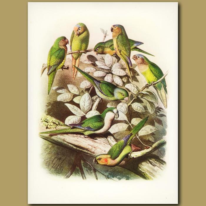 Antique print. Conures: Cactus, All Green Etc