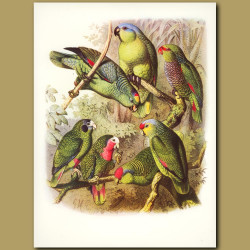 Parrots: Mealy Amazon, Guetemalan Amazon, White-fronted Amazon