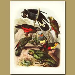 Australasian and New Zealand Parrots: Kaka, Kea