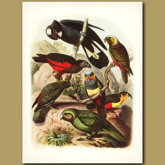 Antique print. Australasian And New Zealand Parrots: Kaka, Kea Etc