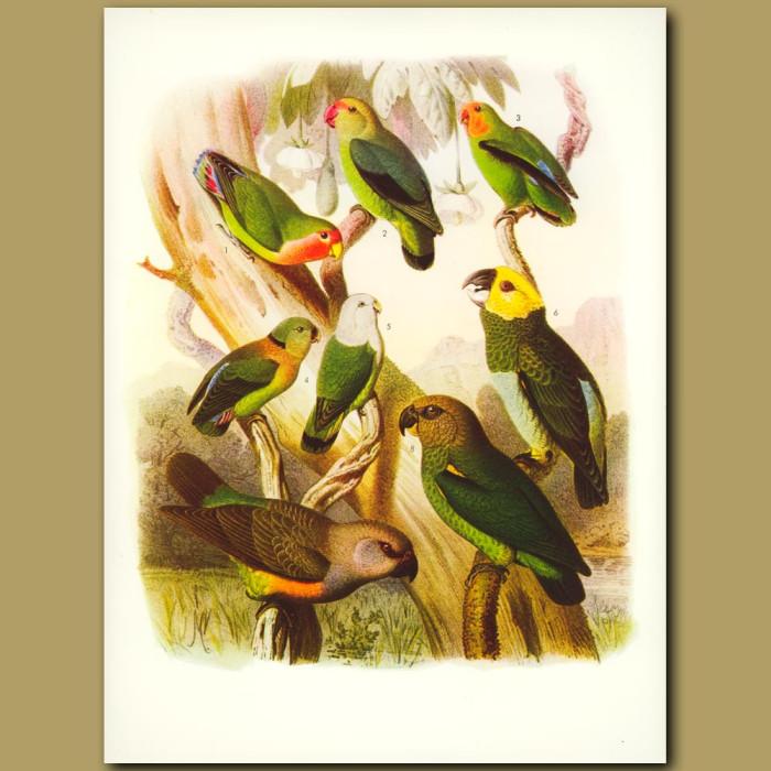 Lovebirds: Rose-faced, Abysiniian, Red-faced, Grey-headed