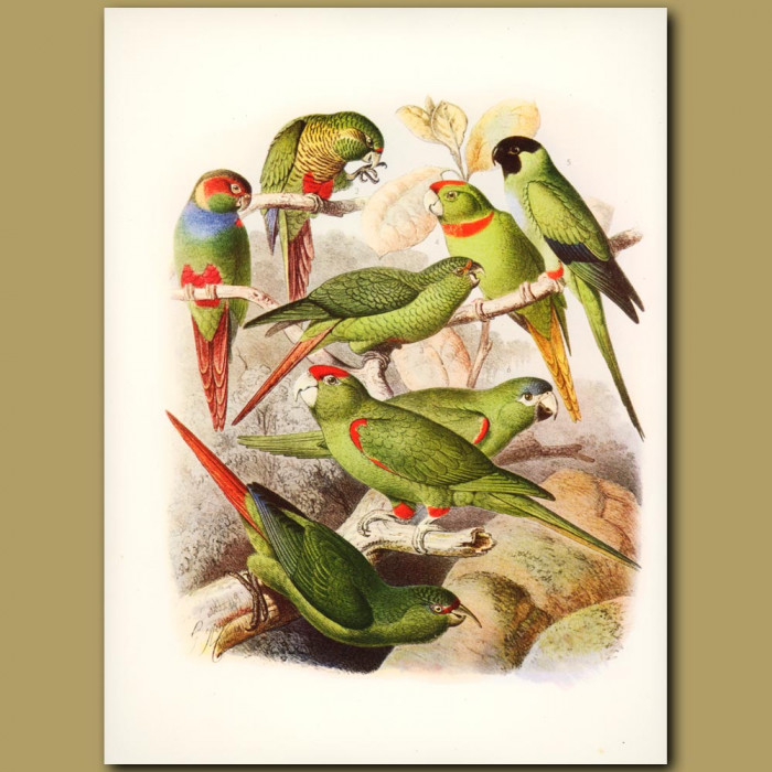 Conure: Red-eared, Red-bellied, Chilean, Wagler's, Black Headed, Red fronted