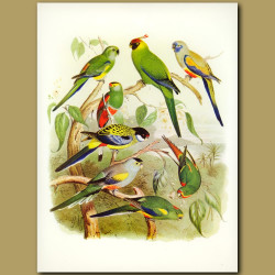 Parrots: Red-backed, Paradise, Northern Rosella
